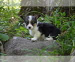 Small Photo #7 Pembroke Welsh Corgi Puppy For Sale in TUPELO, MS, USA