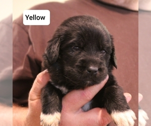 Great Pyrenees-Newfoundland Mix Puppy for Sale in BERESFORD, South Dakota USA