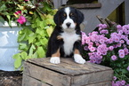 AKC Registered Bernese Mountain Puppy For Sale