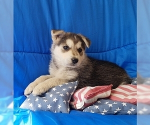 German Shepherd Dog-Siberian Husky Mix Puppy for Sale in ELKTON, Kentucky USA