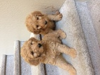 Goldendoodle Puppy For Sale in CAVE CREEK, AZ, USA