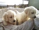Golden Retriever Puppy For Sale in ATLANTA, GA, USA