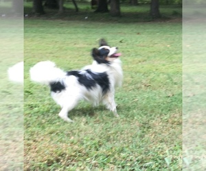Papillon Puppy for sale in CULPEPER, VA, USA