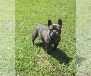 Father of the French Bulldog puppies born on 07/22/2020