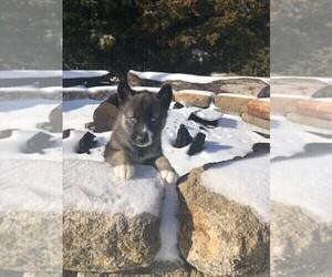 Siberian Husky Puppy for Sale in KINGSVILLE, Missouri USA