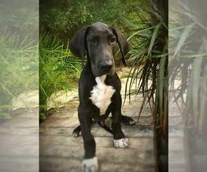 Great Dane Puppy for sale in OCALA, FL, USA