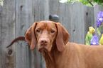 Handsome Vizsla needs a new home