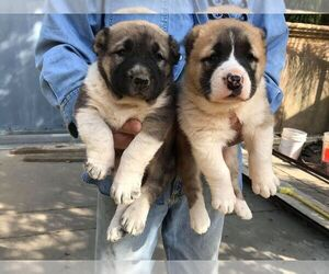 Central Asian Shepherd Dog Puppy for Sale in LINCOLN, California USA