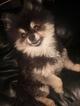 Pomeranian Puppy For Sale in PHOENIX, AZ, USA