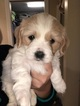 Cavaton Puppy For Sale in CROTHERSVILLE, IN, USA