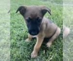 Puppy 7 Malinois