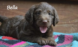 View Ad Labradoodle Litter Of Puppies For Sale Near Georgia Jasper