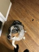 Small Photo #2 Australian Cattle Dog Puppy For Sale in BELLEVILLE, IL, USA