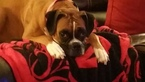 Boxer Puppy For Sale in PORT ORCHARD, WA,