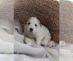Small #11 Great Pyrenees