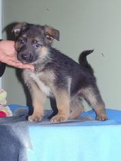 German Shepherd Dog Puppy For Sale in NATHALIE, VA, USA