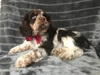 Small #13 Cocker Spaniel