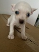 Malchi Puppy