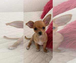 Chihuahua Puppy for sale in YONKERS, NY, USA