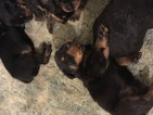 Rottweiler Puppy For Sale in GREENWOOD, SC