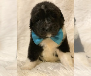 Newfoundland-Poodle (Standard) Mix Puppy for Sale in DALE, Indiana USA