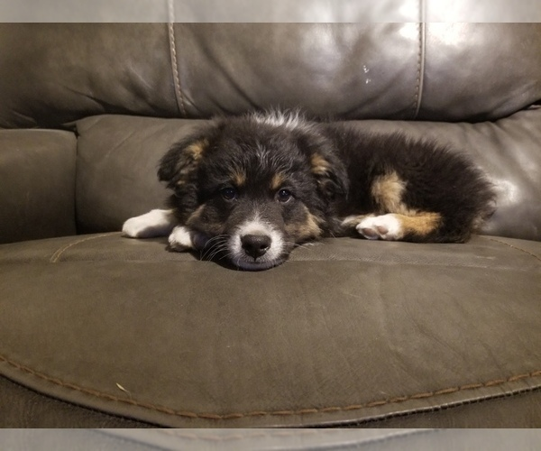 View Ad: Australian Shepherd Puppy for Sale near In Portugal