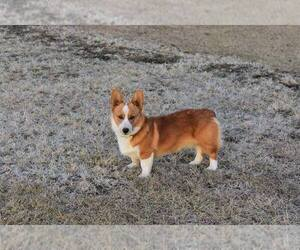 Father of the Pembroke Welsh Corgi puppies born on 09/08/2020