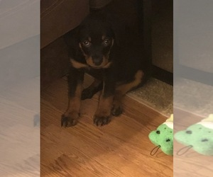 Rottweiler Puppy for sale in MENTOR, OH, USA