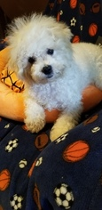Bichon Frise Puppy for Sale in CHATHAM, Illinois USA