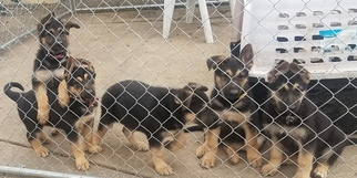 German Shepherd Dog Puppy For Sale in SAINT CHARLES, IL
