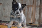 Australian Cattle Dog Puppy For Sale in HONEY BROOK, PA, USA