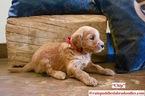 Australian Labradoodle Puppy For Sale in WACO, TX