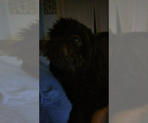 Father of the Shih Tzu puppies born on 08/04/2020