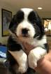 Miniature American Shepherd Puppy For Sale in FORT WAYNE, IN, USA