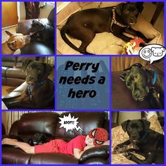 Perry - Labrador Retriever / Boxer / Mixed Dog For Adoption