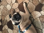 6 month old fawn altered male pug