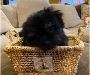Havashire Puppy for Sale in LA GRANGE, New York USA