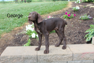 View Ad German Shorthaired Pointer Puppy For Sale Near Ohio