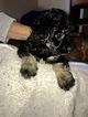 Maltipoo Puppy For Sale in CHICAGO, IL, USA