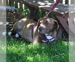 Small #37 Australian Shepherd-Chocolate Labrador retriever Mix