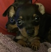 Min Pins Smallest of Breed Black and Rust Cute Faces
