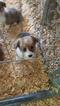 Pembroke Welsh Corgi Puppy For Sale in BLOOMINGTON, CA
