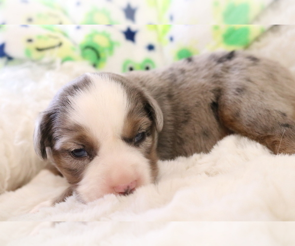Medium Photo #4 Australian Shepherd Puppy For Sale in STAFFORD, VA, USA