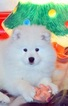 Samoyed Puppy For Sale in CHINO HILLS, California,