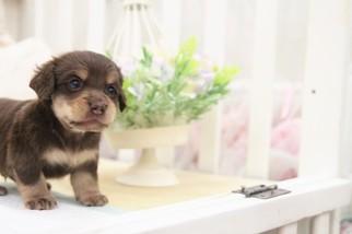 Dachshund Puppy For Sale in SAN JOSE, CA, USA