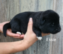 Small Akita