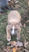 American Pit Bull Terrier Puppy For Sale in DARDEN, TN,