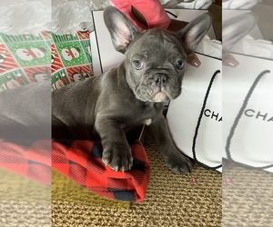 French Bulldog Puppy for Sale in CENTENNIAL, Colorado USA