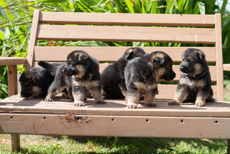 German Shepherd Dog Puppy For Sale in RENTON, WA