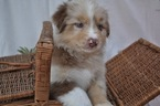Australian Shepherd Puppy For Sale in FULLERTON, California,